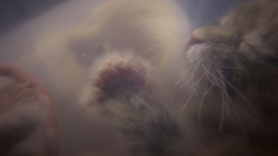 """A kitten in-utero is shown in a simulation created for National Geographic's """"Growing Up Animal"""" on ..."""