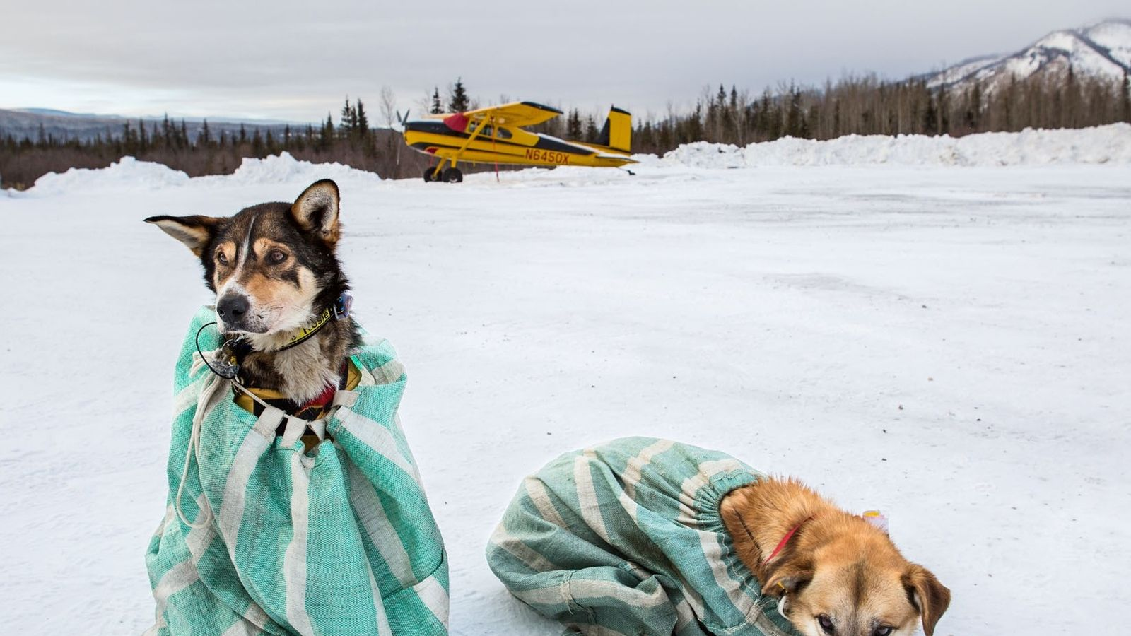 During the long Yukon Quest sled dog race, it's common for dogs to be dropped from ...