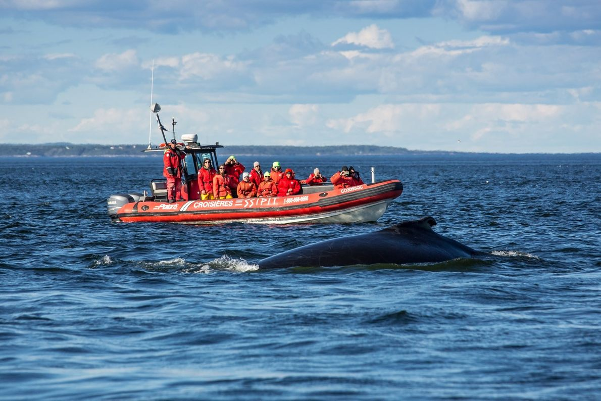 Essipit whale-watching tours exclusively employ zodiacs, giving passengers water-level views of magnificent marine mammals, such seals ...