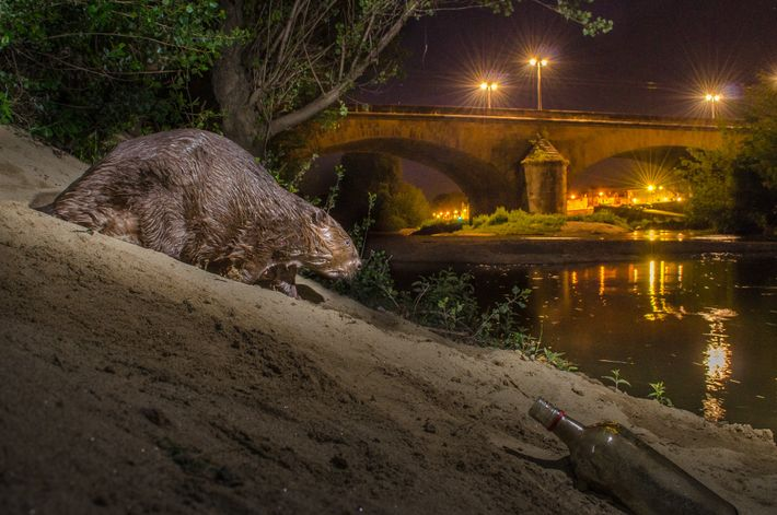 A European beaver walks along a river bank in Grenoble, France. One of the few large ...