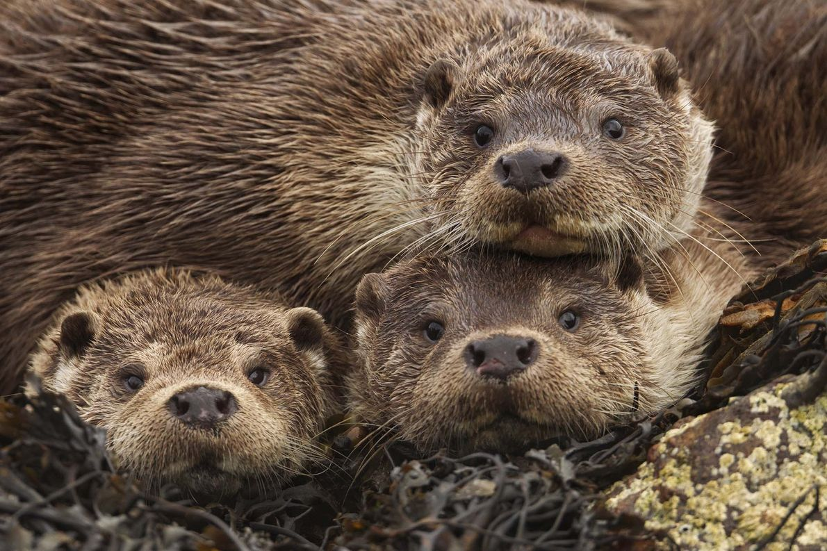 A Eurasian river otter mother relaxes with with her two seven-month-old cubs on a shoreline in …