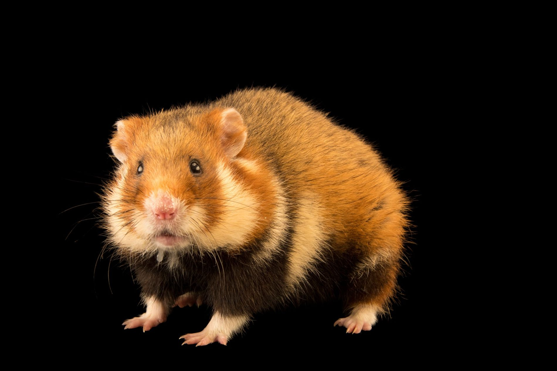 World's rarest wild hamster is now critically endangered | National  Geographic