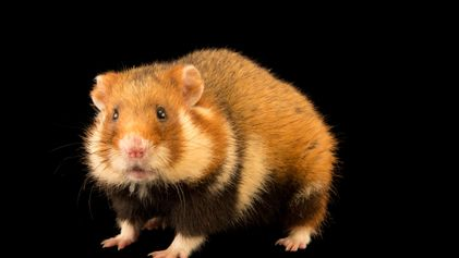 World's rarest wild hamster is now critically endangered