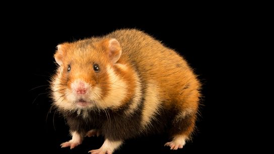 The European hamster, often called the common hamster, was once abundant across Europe and western Asia.