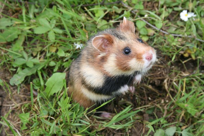 A captive-reared European hamster rests in a protected enclosure before being reintroduced into the wild in ...