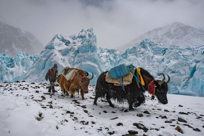 The tinkling of bells accompanies yaks hauling propane and other supplies all the way to Advanced ...