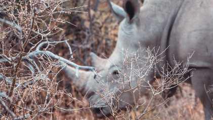 The startling impact of coronavirus on rhino conservation across Africa