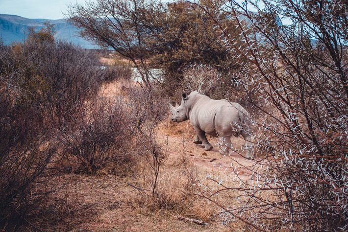 There are five remaining rhino species: the white rhino and black rhino are found in Africa, ...