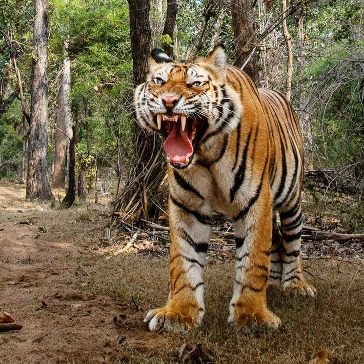 In Bandhavgarh National Park in Madhya Pradesh, India, male tigers ran from the camera car, but ...