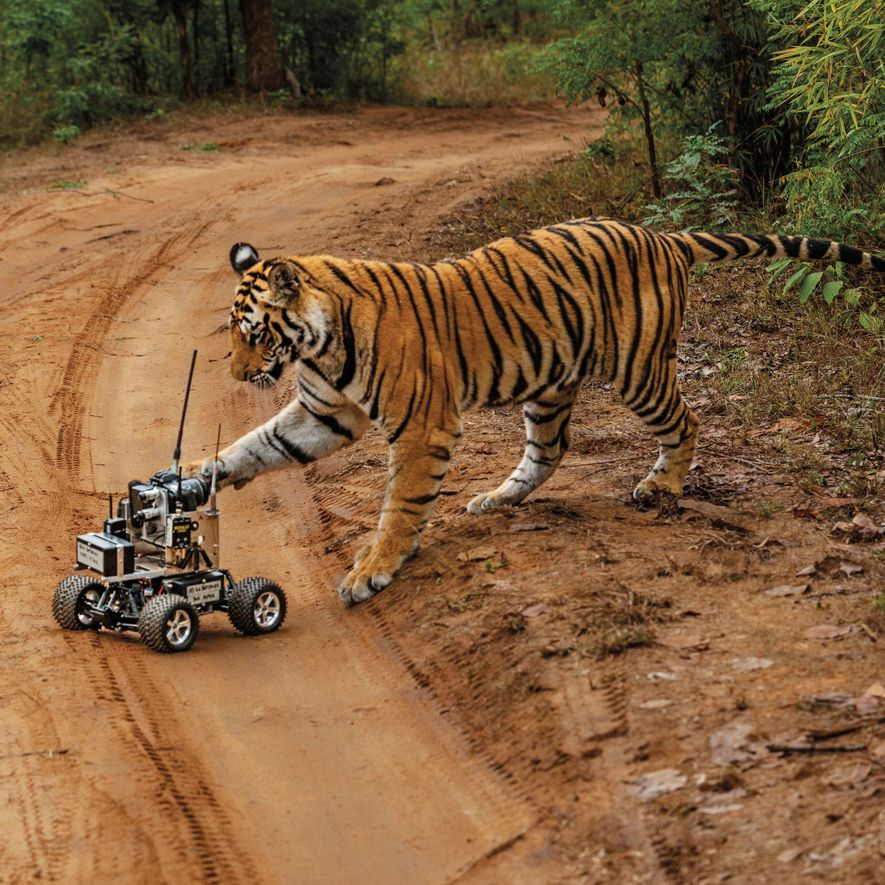 How this 'camera car' captured the perfect tiger close-up