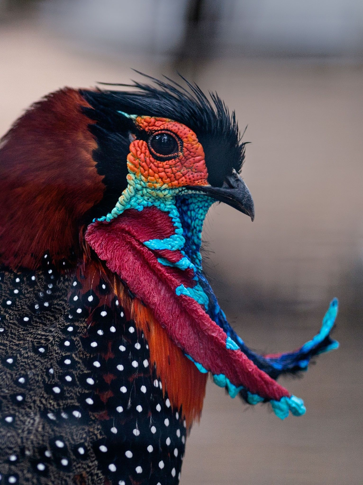 The 'king of birds' dresses the part when pursuing a mate | National Geographic