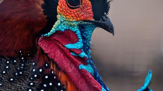 Te colourful – and threatened – western tragopan.