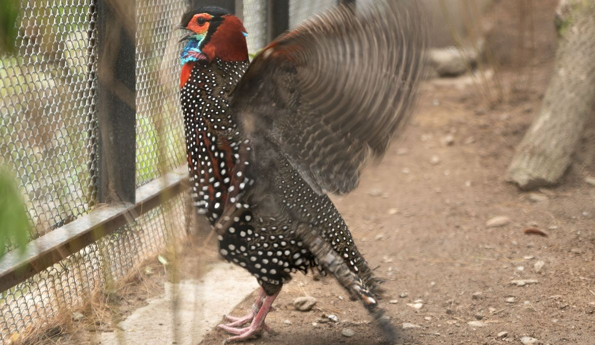 An adult male western tragopan shows a territorial display during breeding season in May 2018. Two ...