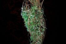 Part of the nest of a Bullock's oriole is woven with plastic. Some birds decorate garishly ...