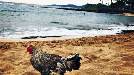 The Surprising Origins of Hawaii's Feral Chickens