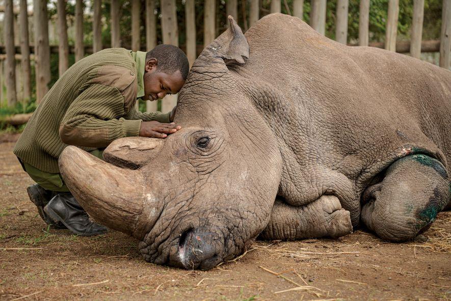 Joseph Wachira, a keeper at the Ol Pejeta Conservancy in Kenya, says goodbye to Sudan, the ...