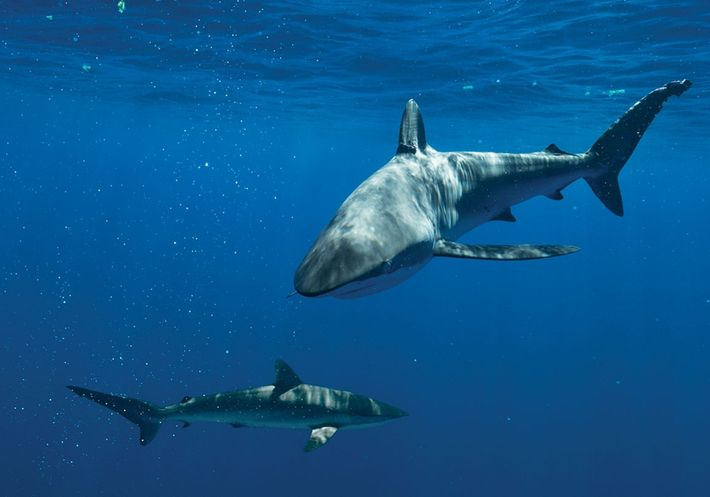 Silky sharks (pictured here in the Bahamas) were among the species being killed around the Cook ...
