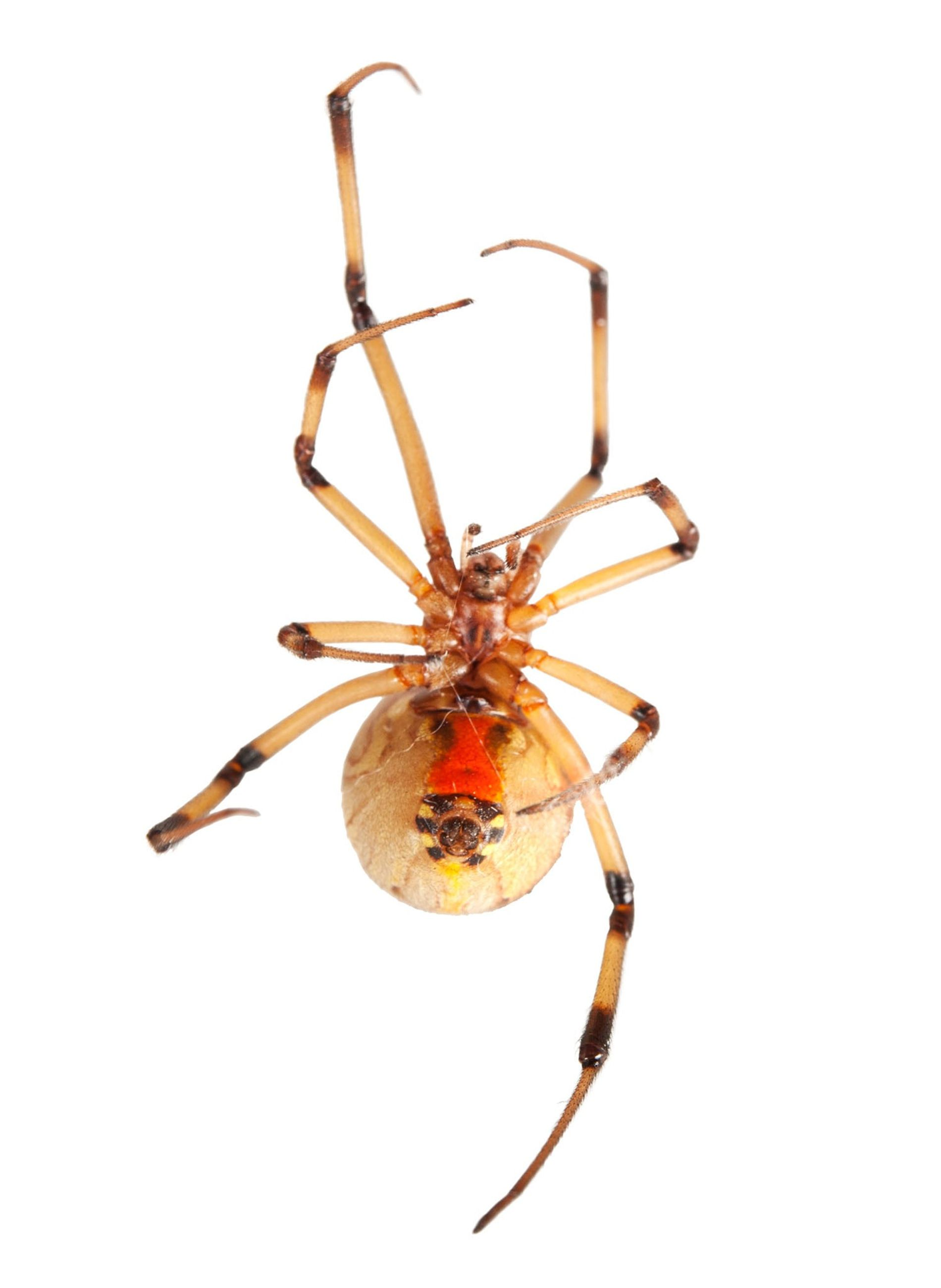 Why do these spiders choose sex and death, rather than sex?