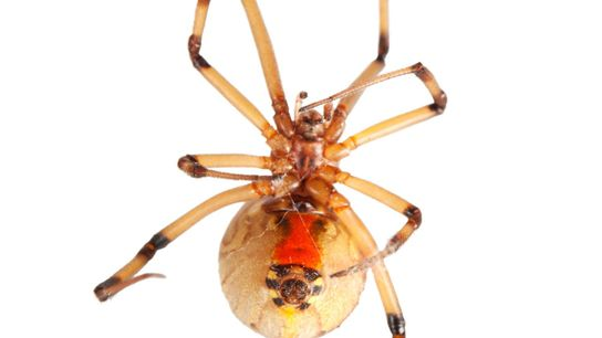 This brown widow spider was photographed for Photo Ark at the Audubon Nature Institute.