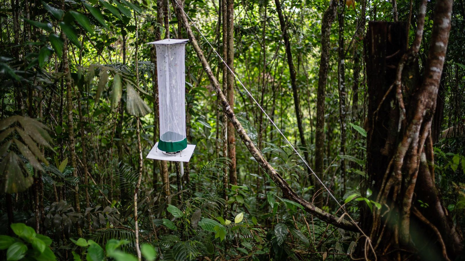 Scientists use traps like these to catch the butterflies for study.