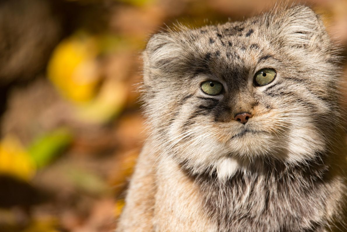 The expressive-featured Pallas's Cat – named for the German naturalist who first described it – is ...