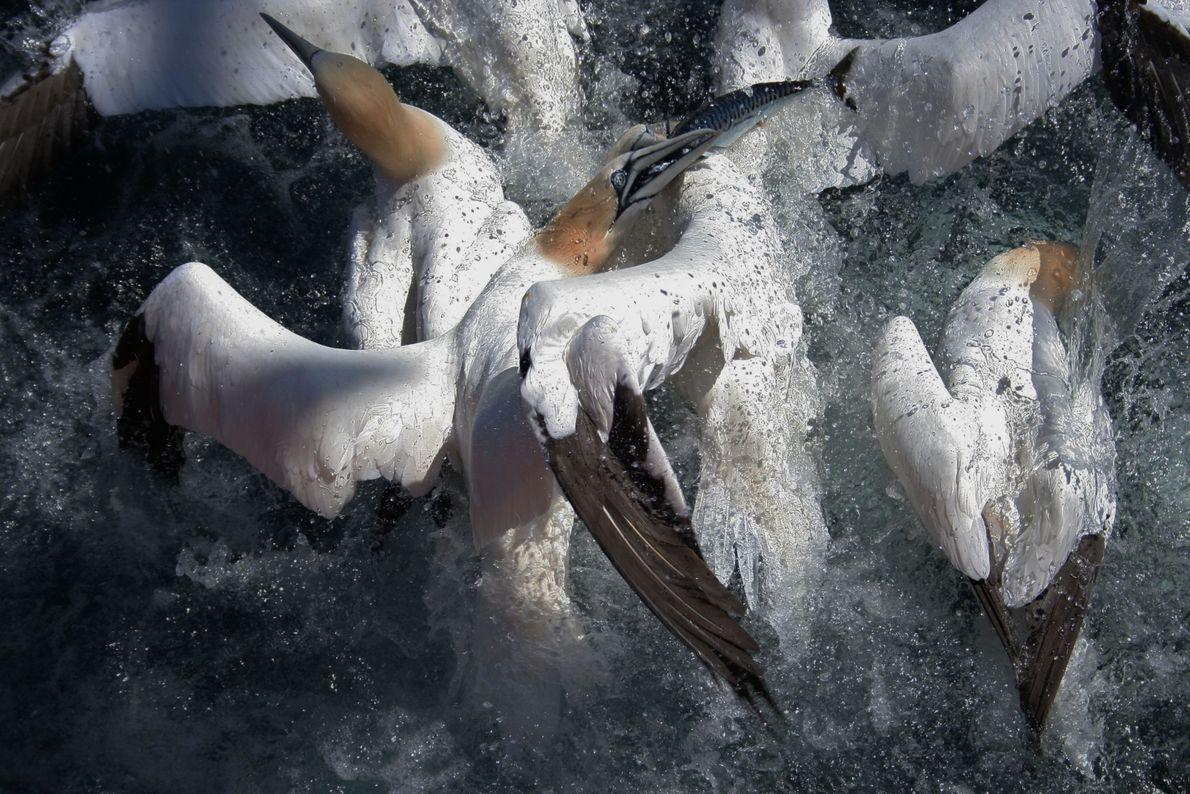 Gnashing Gannets