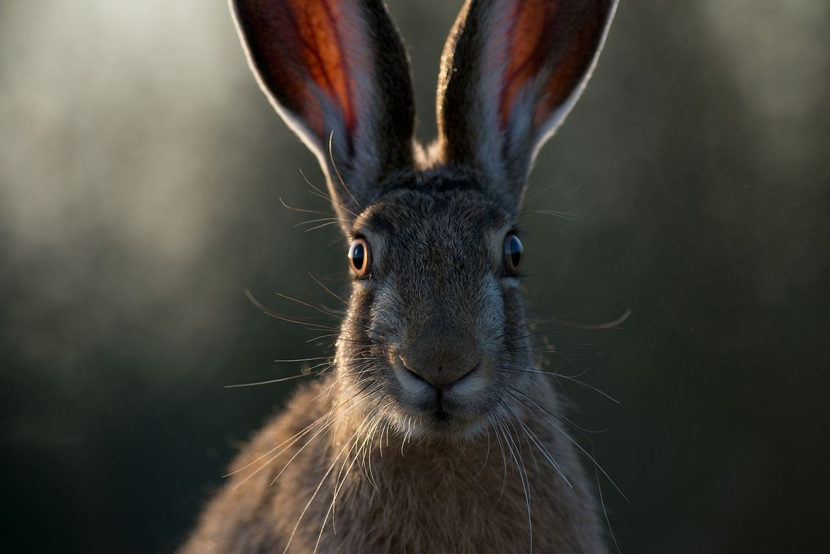 Caught by a Hare