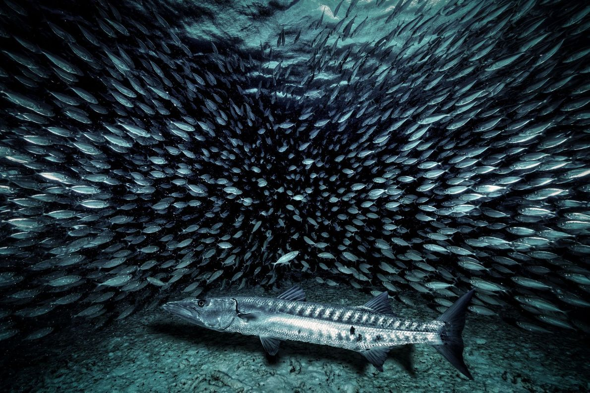 Barracuda Buffet