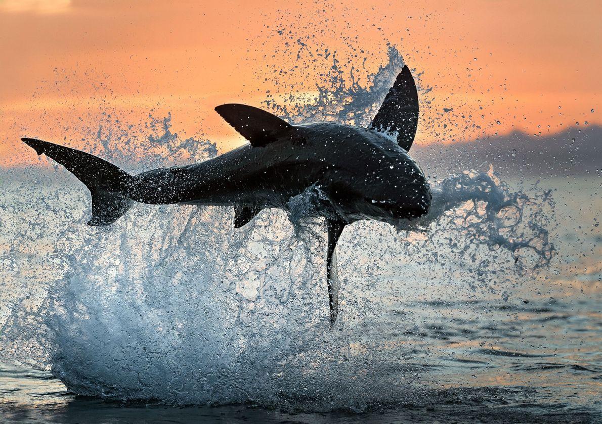 Great Height Shark