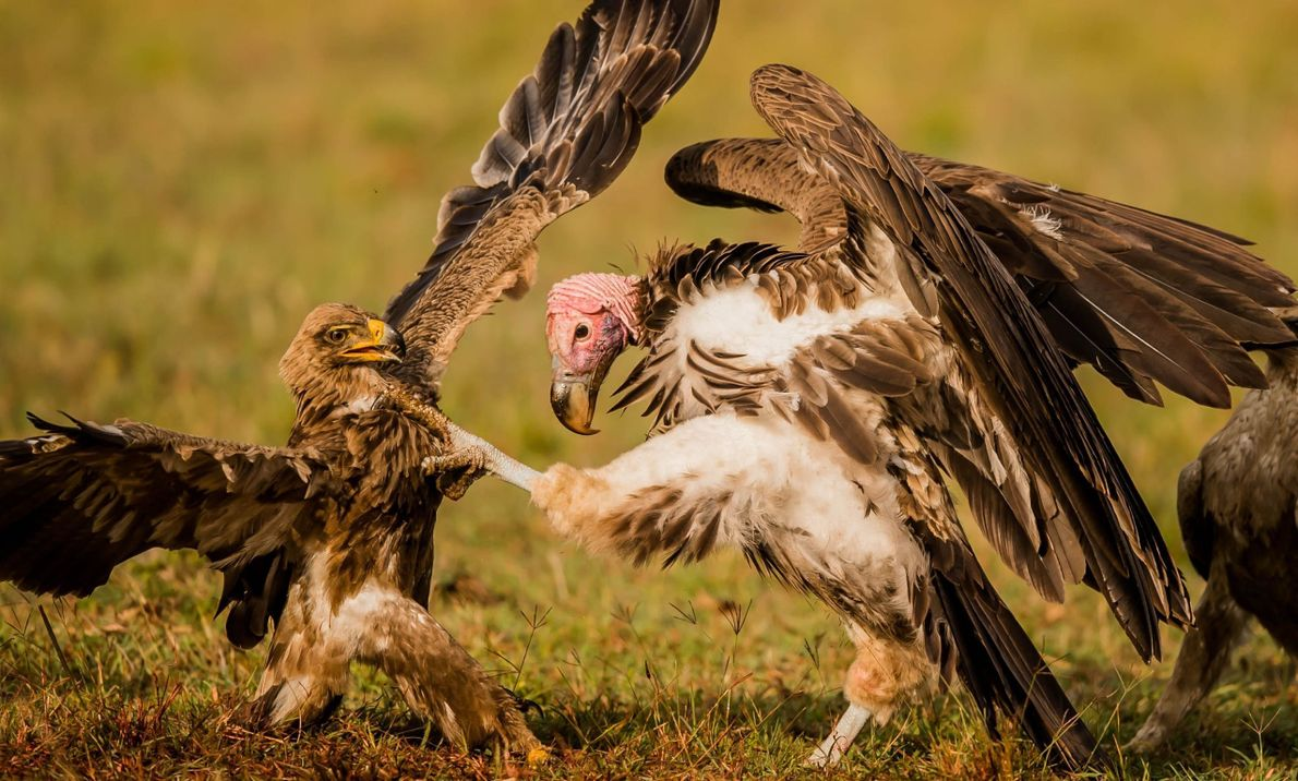 Feathered Fight