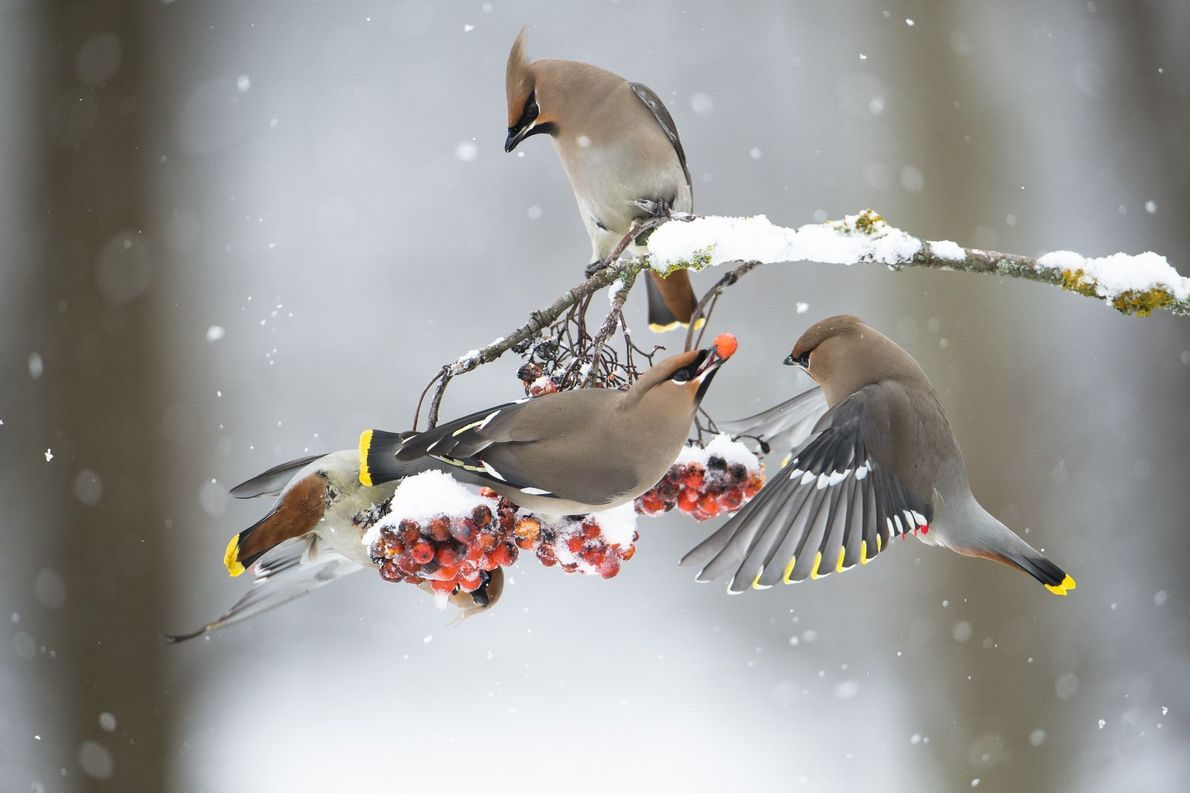 Winter Waxwings