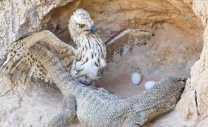 Eagles are one of the animals in fabricated rescue videos often portrayed as the attackers. The ...