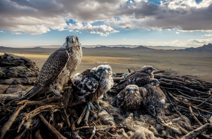 A female saker falcon guards her chicks—called eyases—in their nest overlooking the Mongolian plain. Genghis Khan ...