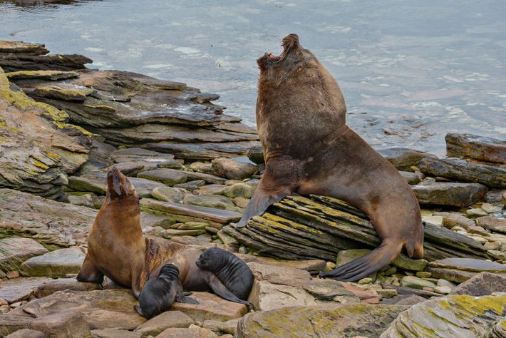 A male southern sea lion, about 2.5 metres long and 375 kilograms, looms over a female ...