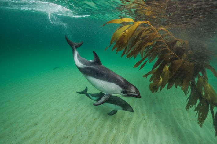Near New Island, Peale's dolphins swim by kelp growing close to shore, where they often search ...