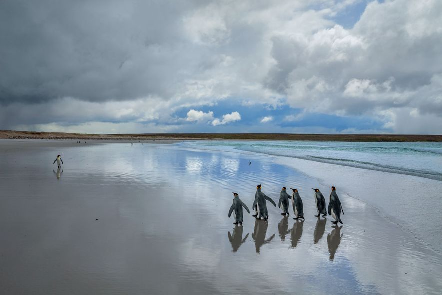 King penguins stroll on the white sand of Volunteer Point on East Falkland island. Small numbers ...
