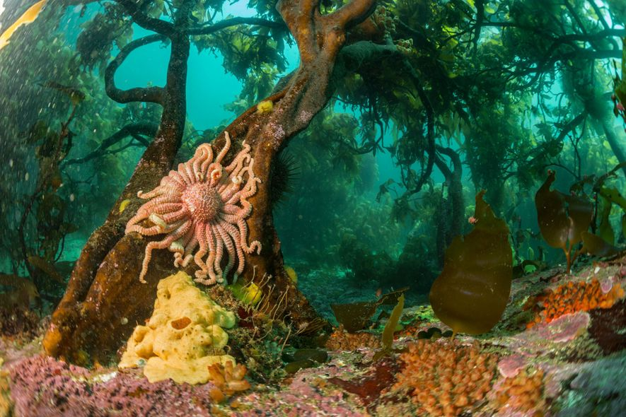 A sun star clings to tree kelp in the chilly South Atlantic off the coast of ...