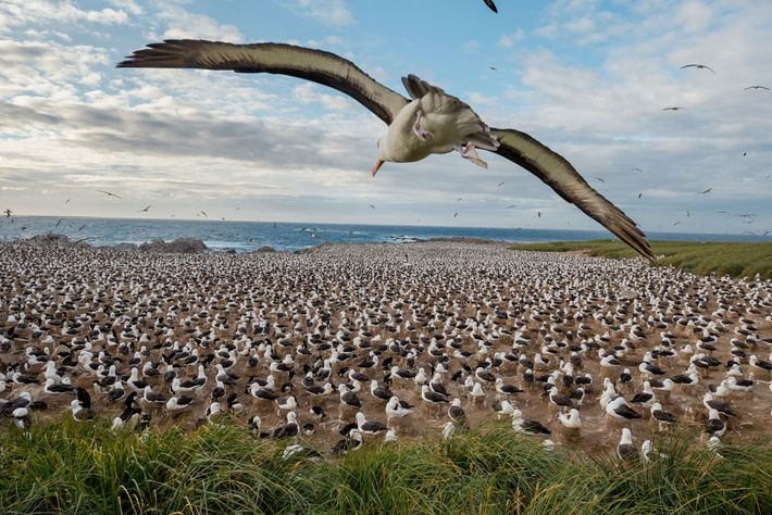 Steeple Jason, one of the more remote islands, hosts the world's largest colony of black-browed albatrosses. ...