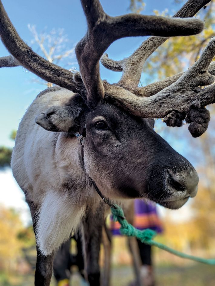 A reindeer in the Arctic Circle
