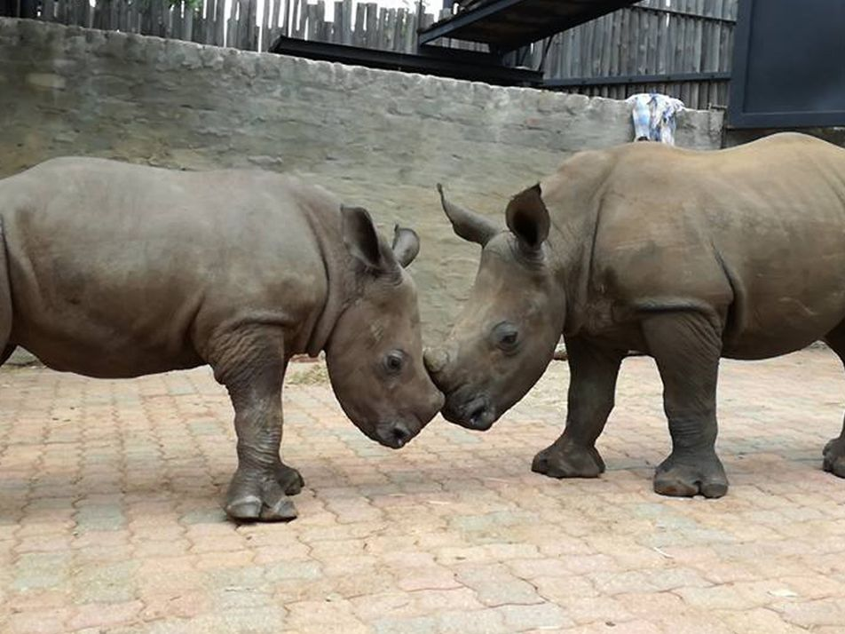 Orphaned By Poachers, a Baby Rhino Makes a New Friend