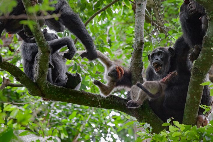 Though chimps feed primarily on plants, they hunt animals when opportunity presents itself and relish the ...