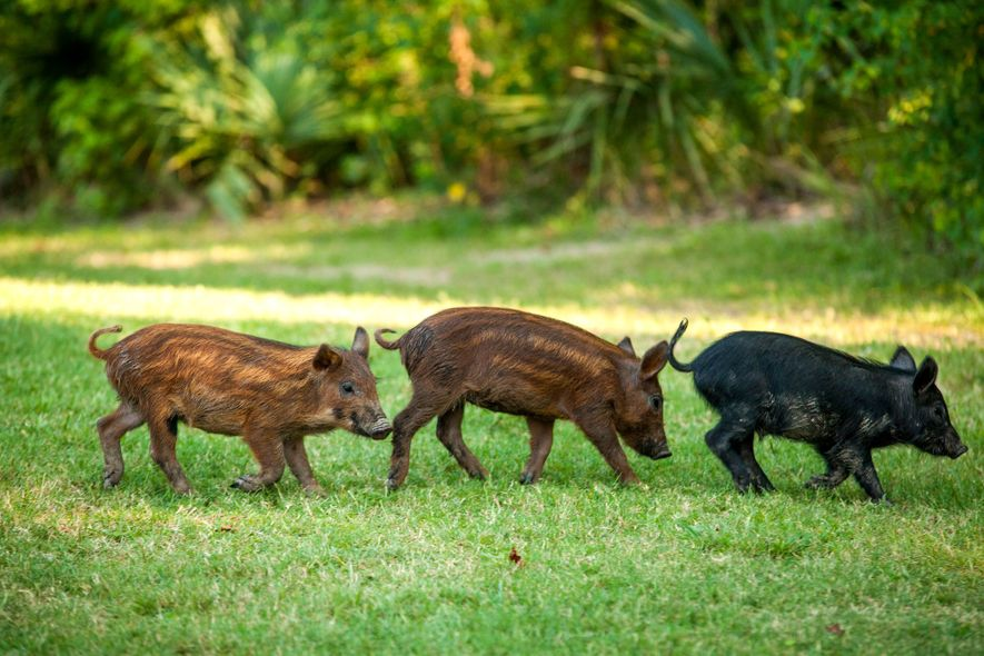 Baby feral pigs may be cute—like these ones at a campground in Palmetto State Park in ...