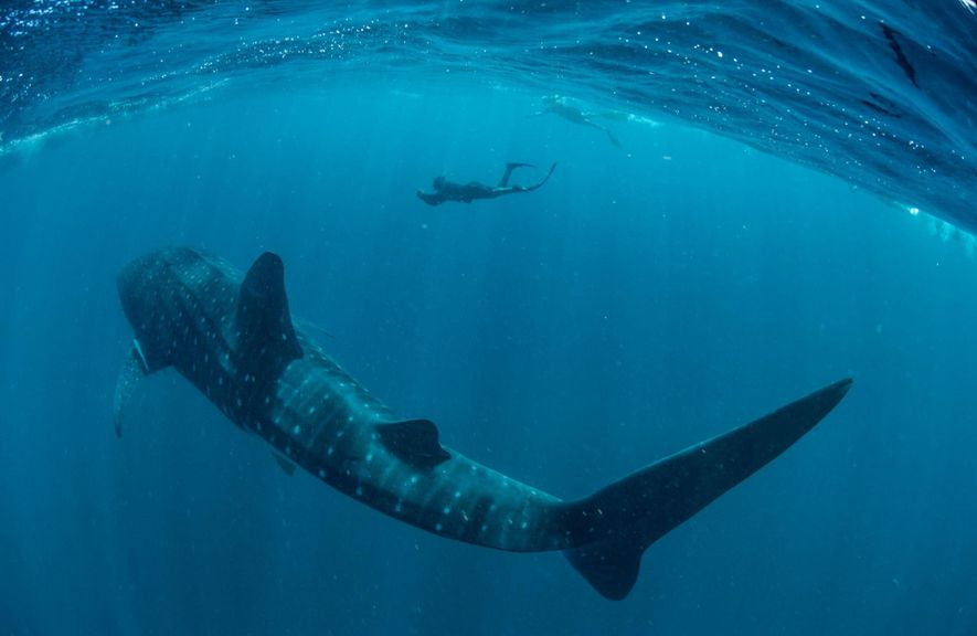 Brad Norman studies a whale shark in Australia's Ningaloo Marine Park. Known as gentle giants, the ...