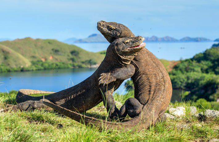 Komodo dragons wrestle for dominance in Komodo National Park in Indonesia.