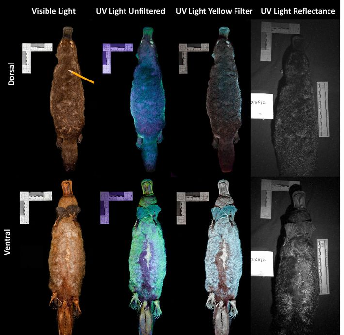 This image shows what platypuses look like when illuminated with ultraviolet (UV) light. Researcher Jonathan Martin ...