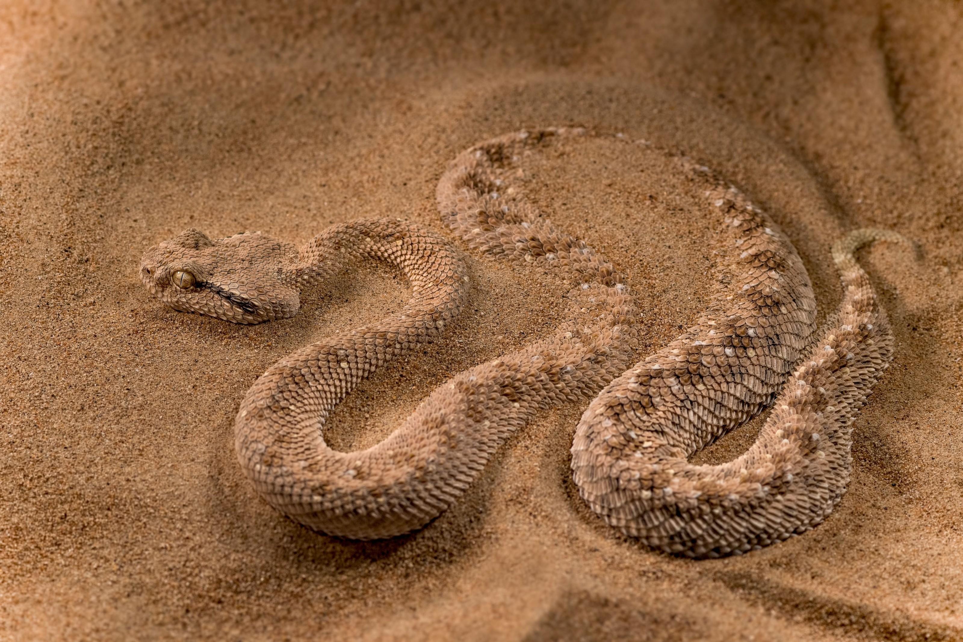 Venomous Viper