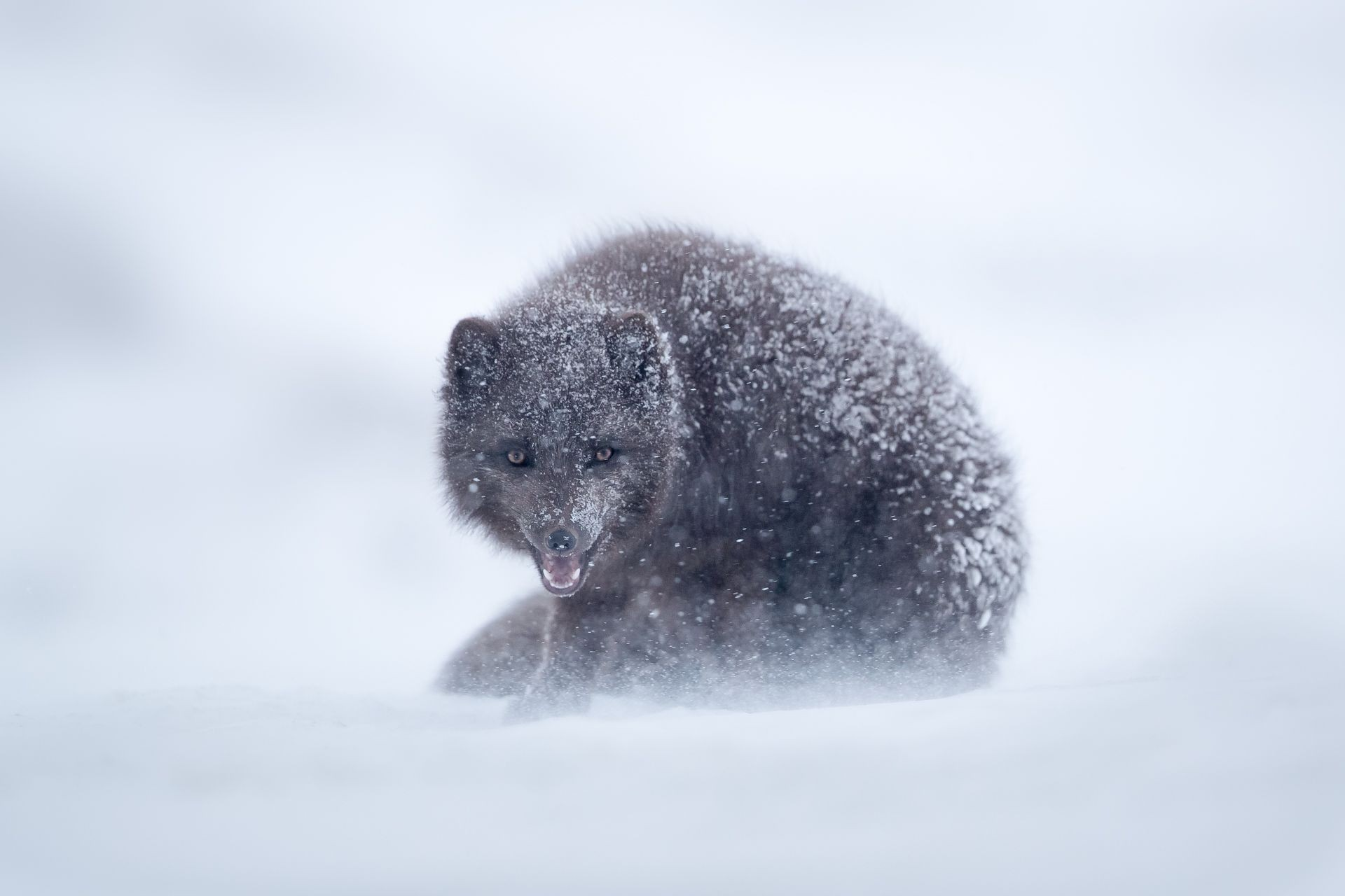Fox and Ice