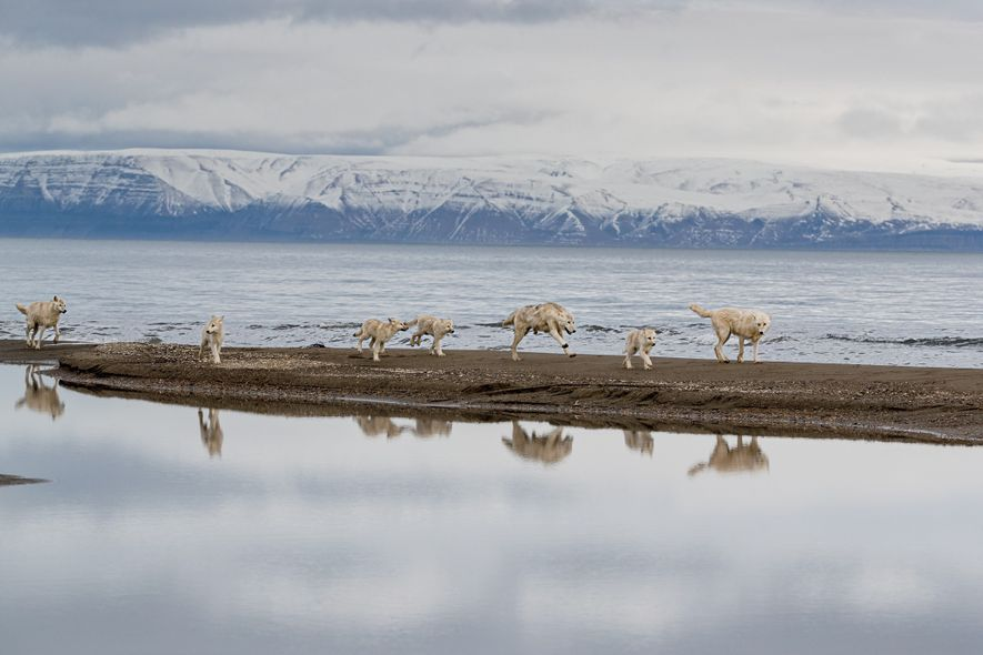 The pack, desperate for prey, scours Greely Fiord for muskoxen and arctic hares. When the fiord ...