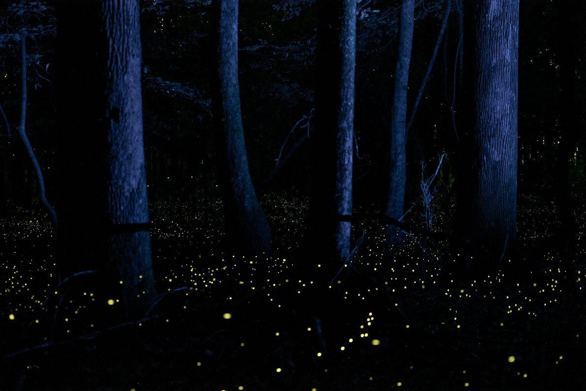 """Fireflies known as """"snappy syncs"""" illuminate the bottomlands of South Carolina's Congaree National Park in May ..."""