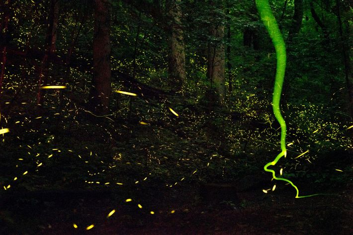 At least 19 species of fireflies call Great Smoky Mountains National Park home, but only one ...